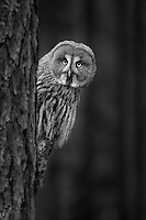 Strix nebulosa<br /> <br /> A great grey owl in a forest.