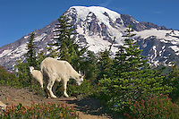 Mountain Goats (Oreamnos americanus)--nanny with several month old kid.  Mount Rainier National Park, Washington.  Summer.