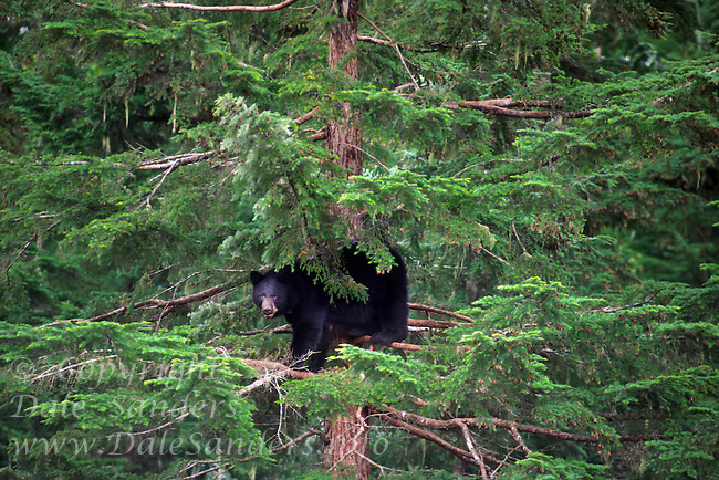 Black Bear  (Ursus americanus) taking refuge in a tree near Terrace, British Columbia, Canada.