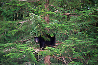Black Bear  (Ursus americanus) taking refuge in a tree near Terrace, British Columbia, Canada.