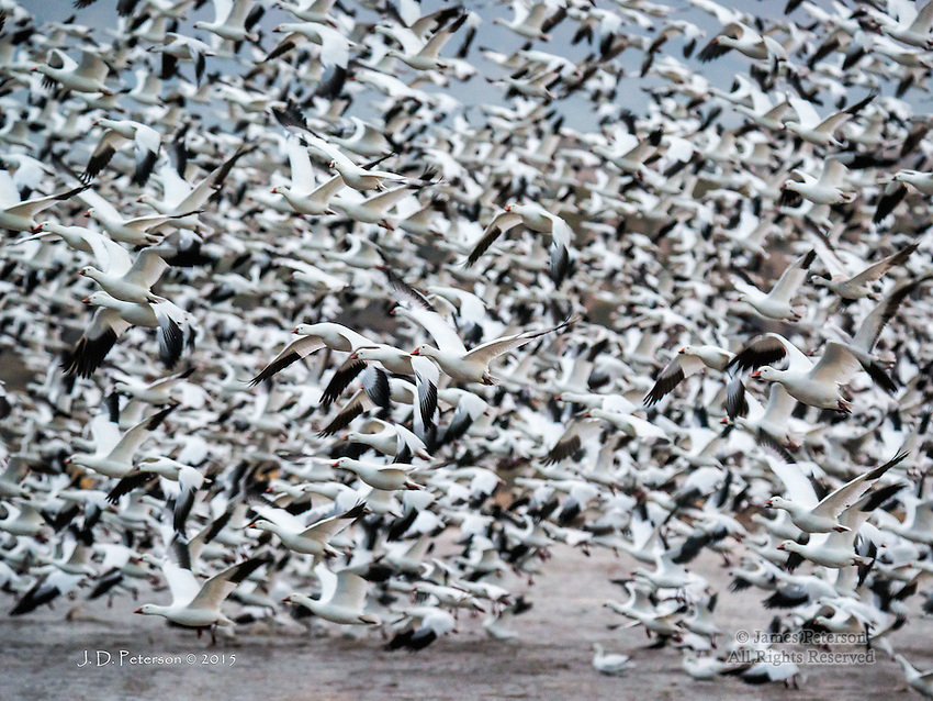 Takeoff: Snow Geese at Bosque Del Apache