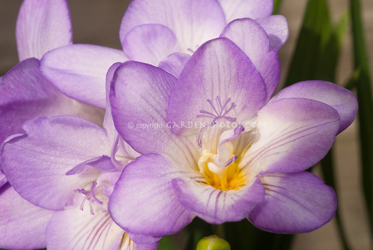 Freesia, lavender and white