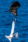Bird tries to snatch another bird mid air by Young Feng