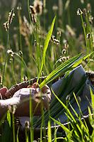 Spitz-Wegerich-Ernte, Ernte, Kräuterernte, Kräuter sammeln, Spitz-Wegerich, Spitzwegerich, Wegerich, Plantago lanceolata, English Plantain, Ribwort, narrowleaf plantain, ribwort plantain, ribleaf, le Plantain lancéolé, Plantain étroit