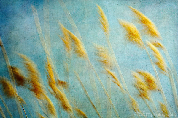 River reeds blowing in the wind