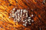Sea cucumber crab (Lissocarcinus orbicularis)