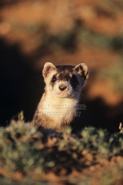 Black-footed Ferret (Mustela nigripes), adult looking, Arizona, USA