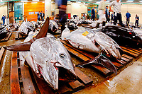 bluefin, yellowfin, southern bluefin, and bigeye tuna, Thunnus thynnus, albacares, maccoyii, and obesus to be auctioned, Tsukiji Market, Tokyo, Japan, Pacific Ocean