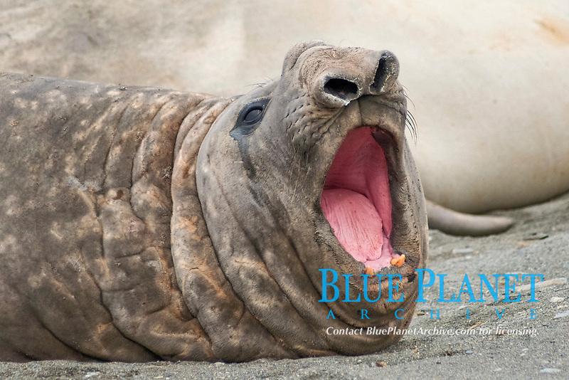 Southern Elephant Seal Bull, Mirounga leonina, South Georgia, South Atlantic Ocean