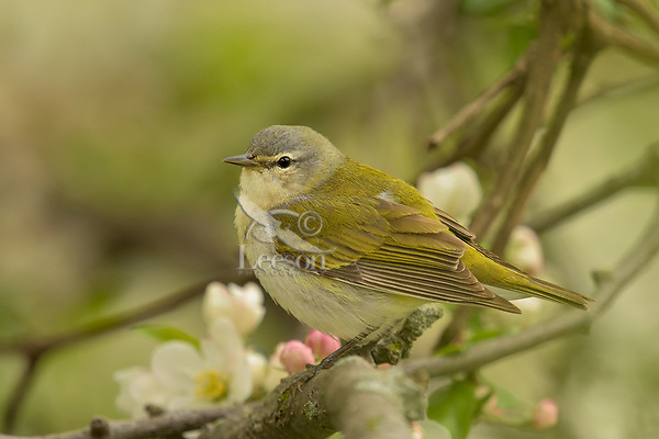 Tennessee Warbler (Leiothlypis peregrina) in crab apple tree.  Great Lakes Region.  May.