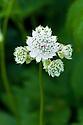 Astrantia major subsp. involucrata, end June.