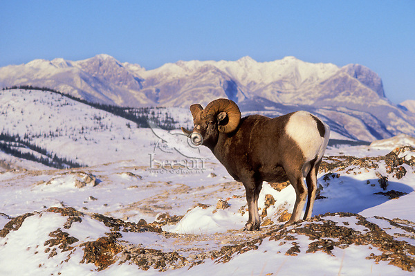 Bighorn ram. Rocky Mountains..Jasper National Park, Canada..Winter. (Ovis canadensis).
