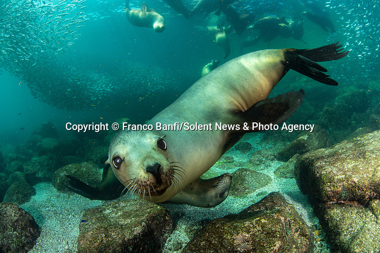 Pictured: A curious sea lion appears to be smiling for the camera.   The playful animal moves closer to the diver and looks like he is posing for a photo shoot.<br /> <br /> More sea lions - including youngsters - edge forwards and begin to join in the fun.   Photographer Franco Banfi pictured the cheeky animals in the Baja California Peninsula, Mexico.   SEE OUR COPY FOR DETAILS<br /> <br /> Please byline: Franco Banfi/Solent News<br /> <br /> © Franco Banfi/Solent News & Photo Agency<br /> UK +44 (0) 2380 458800