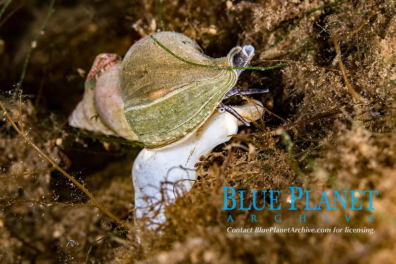 whelk, Buccinum sp., sea snails, marine gastropod molluscs, Tasiilaq, Greenland, North Atlantic Ocean