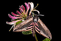 Privet Hawkmoth {Sphinx ligustri} feeding on honeysuckle flowers at night. Devon, UK. June.