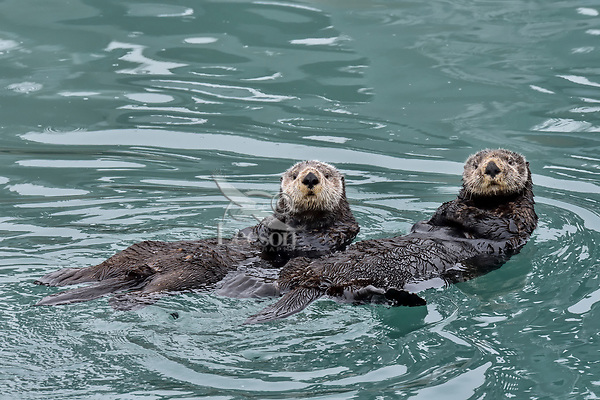 Two Sea Otters (Enhydra lutris) , Prince William Sound, Alaska.  Spring.