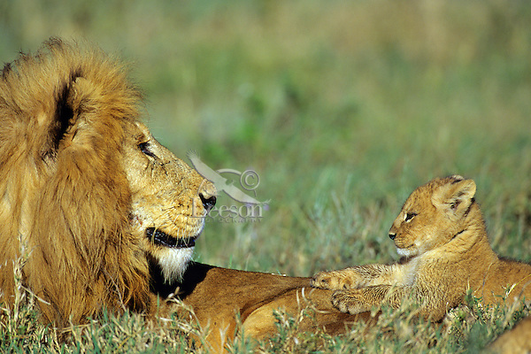 Male african lion (Panthera leo) with cub, Masai Mara National Reserve, Kenya.