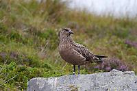 Skua, Grosse Raubmöwe, Große Raubmöwe, beringt, Forschung, Vogelforschung, Ornithologie, Stercorarius skua, great skua, Grand Labbe