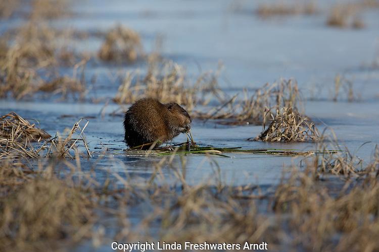 Muskrat foraging on a wilderness lake in Wisconsin