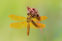 304570025 a wild male mexican amberwing perithemis intensa perches on a flower stem along the edge of roper lake in roper lake state park cochise county arizona
