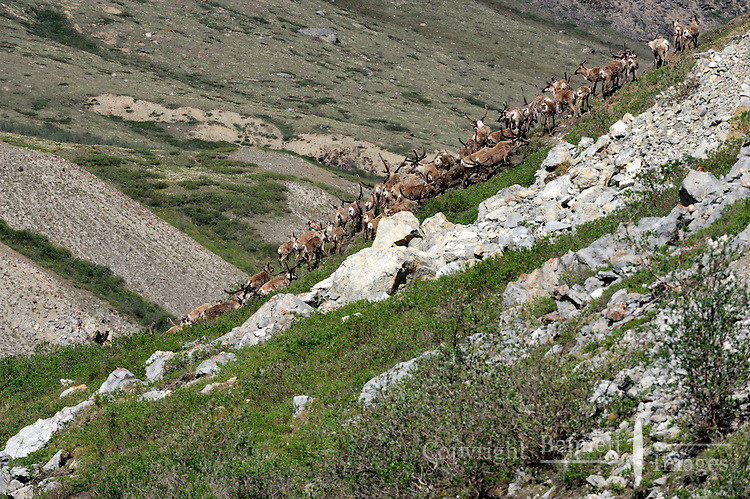 A group of caribou climbs a steep bank after crossing the Hulahula River in Alaska's Arctic National Wildlife Refuge on a summer day.