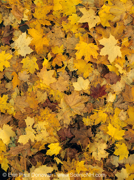 Maple leafs during the autumn months in New Hampshire USA