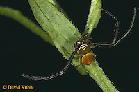 0903-06mm  Crab Spider - Male Misumenoides formocipes © David Kuhn/Dwight Kuhn Photography
