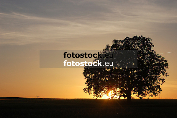 Walnussbaum vor untergehender Sonne