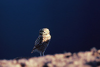Burrowing Owl Watches the sun set.
