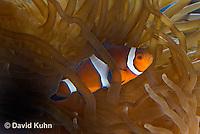 0321-1101  False Percula Clownfish (Ocellaris Clownfish), Amphiprion ocellaris, with Bulb-tipped Anemone, Entacmaea quadricolor  © David Kuhn/Dwight Kuhn Photography