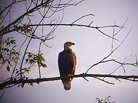 Bald eagle sitting on tree branch<br />