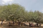 Israel, Terebinth tree (Pistacia Palaestina) in Ein Kobi