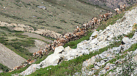A herd of caribou climbs a hill overlooking the Hulahula River, which  flows north from Alaska's Brooks Range mountains to the Coastal Plain in the Arctic National Wildlife Refuge.