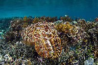 A Broadclub cuttlefish, Sepia latimanus, blends into a shallow reef using its ability to change color and texture. Batanta Island, Raja Ampat, Papua, Indonesia, Pacific Ocean