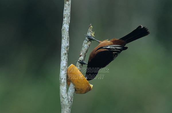 Orchard Oriole, Icterus spurius,male feeding on orange, South Padre Island, Texas, USA