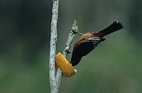 Orchard Oriole, Icterus spurius,male feeding on orange, South Padre Island, Texas, USA