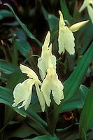 Roscoea 'Beesiana' (yellow)