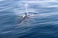 Fin whale, Balaenoptera physalus, surfaces off Resurrection Bay, Alaska, Pacific Ocean