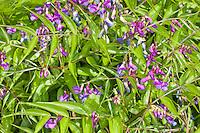 Frühlings-Platterbse, Frühlingsplatterbse, Zarte Platterbse, Lathyrus vernus, syn. Orobus vernus, Spring vetchling, Spring pea, Spring-vetchling, Spring-pea, Spring vetch