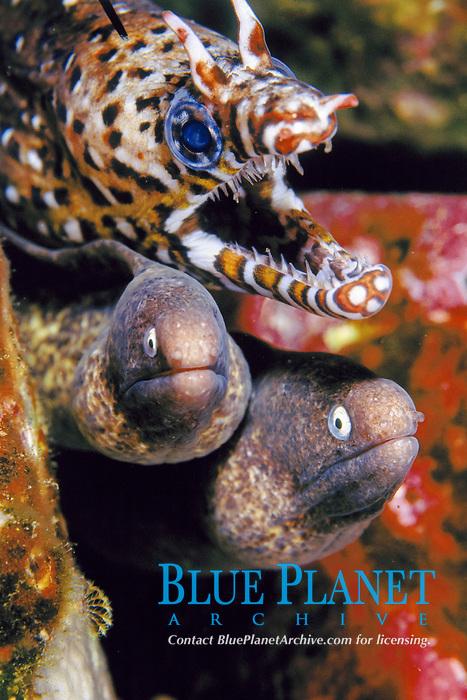 Dragon moray , Enchelycore pardalis, and white eyed moray eels,