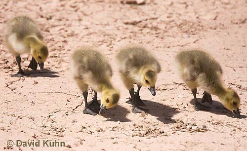0224-1205  Canada Goose Goslings Foraging for Food (Canada Goose, Canadian Goose), Branta canadensis  © David Kuhn/Dwight Kuhn Photography
