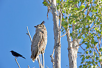 Great Horned Owl in tree with blackbird. Summer Lake State Wildlife Refuge. Oregon