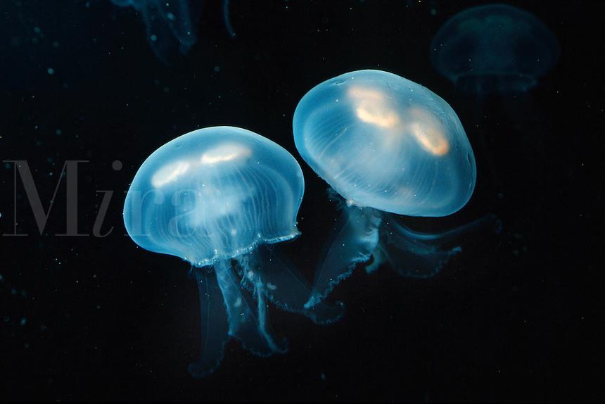 Moon jelly, Aurelia aurita, California, Pacific Ocean