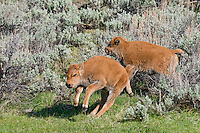 Young American Bison calves (Bison bison) playing.  Yellowstone National Park, spring.