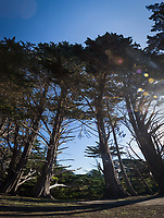 Massive cypress trees climb to the sky on the bluffs above the Pacific Ocean at Fitzgerald Marine Reserve on the northern California coast.