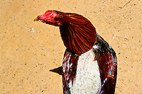 A cockfighting rooster seen in the breeding station in Cucuta, Colombia, 1 May 2006. Cockfight is a widely popular and legal sporting event in Colombia. People take advantage of cock's natural, strong will to fight. Birds are specially trained to increase their aggression, stamina and to improve their fighting techniques. They are given the best of food, care and sometimes even a doping, basically in the same way like professional athletes are. Brave cocks are highly treasured. If a fighting cock wins certain number of matches breeders keep him for reproduction and do not let him fight anymore.