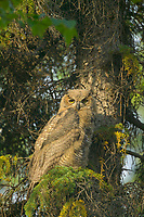 Juvenile Great Horned Owl, Fairbanks, Alaska