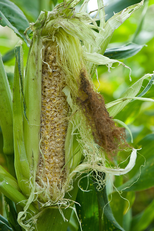 Sweetcorn cob eaten by birds or rodents, early August.