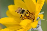 Bumblebee pollenating balsamroot flower.  Wyoming mountains, July.