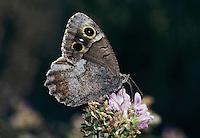 Tree Grayling, Hipparchia statilinus , adult, Wallis, Switzerland, September 1997